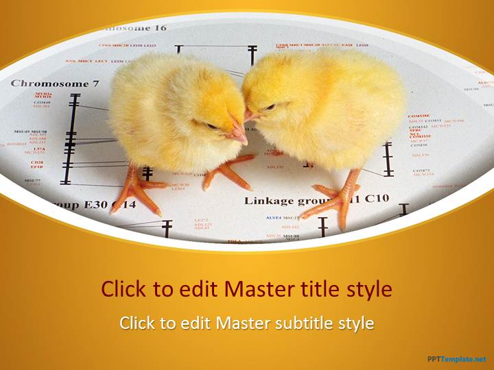 Free Chicks PPT Template